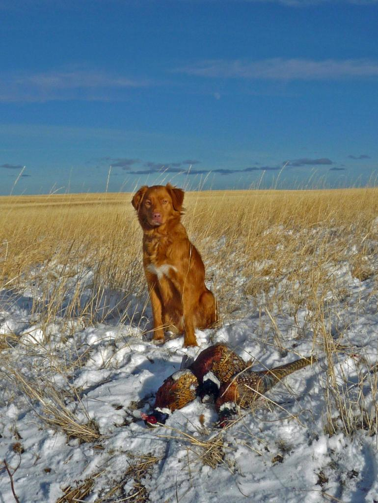 nova scotia duck tolling retriever toller hunting pheasant